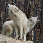 [Grécia] Liberdade para os Lobos do Norte