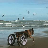 [Itanhaém-SP] Campanha: Ajude a Diamanda a andar com as próprias patas