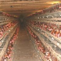 [Reino Unido] Centenas de animais resgatados de granjas