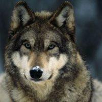 Noruega autoriza sacrifício de 47 lobos e provoca indignação de ativistas pelos animais
