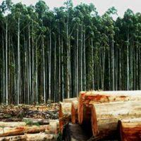[Espírito Santo-ES] Monocultivos de eucaliptos não são florestas