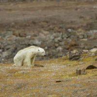[Canadá] A dura realidade das mudanças climáticas: urso polar filmado a morrer de fome no Ártico