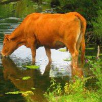 [Polônia] Uma história de resistência: Vaca nadou até ilha deserta para fugir de matadouro