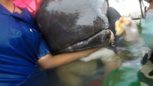 baleia-morre-depois-de-engolir-80-sacolas-plasti-1