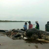 [Indonésia] Baleia é encontrada morta com 6kg de plástico no estômago