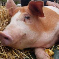 [Espanha] Em Girona, ativistas animalistas de toda Europa invadem matadouro e libertam 7 porcos