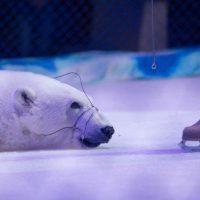 """[Rússia] """"O show inteiro se passa no gelo e os ursos ficam amordaçados"""""""